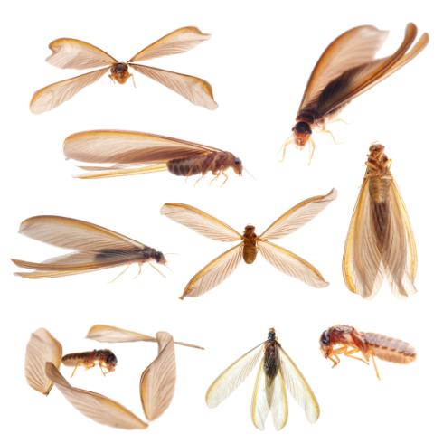 羽アリの画像
