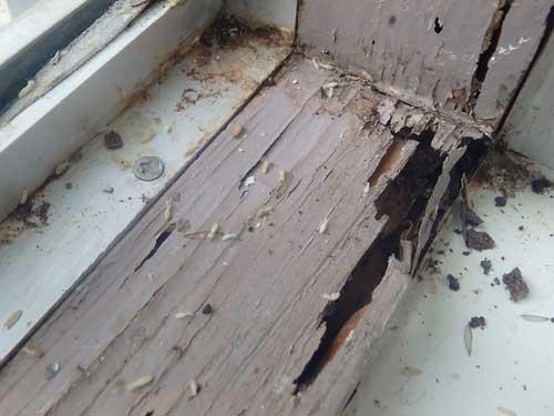 窓の木枠から出てくるシロアリ
