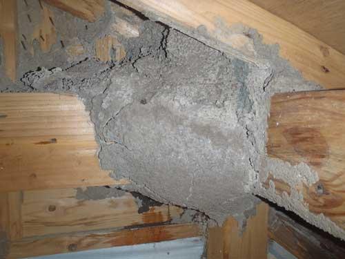 天井裏の分巣