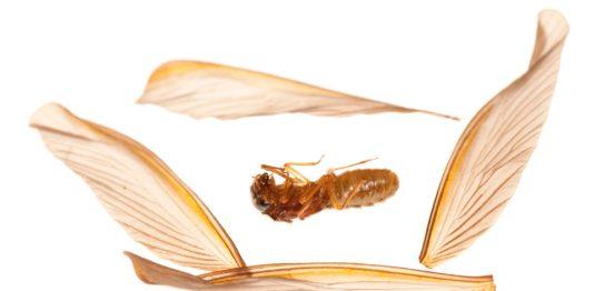 梅雨の茶色い羽アリ